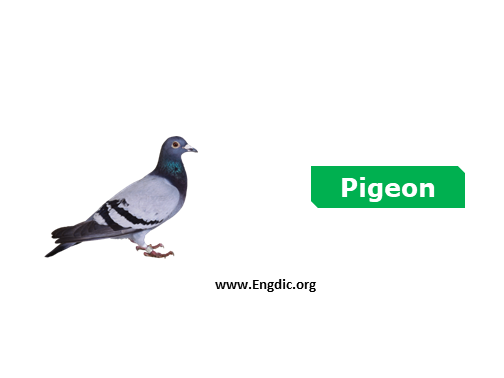Pigeon - birds names list with pictures