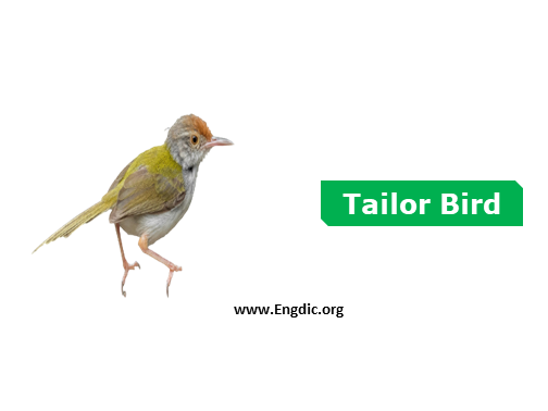 tailor bird - birds names list with pictures